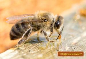 Miere cruda, miere vie, miere raw sau miere bruta