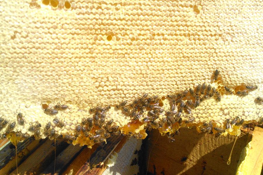 Fagure cu miere și căpăceală