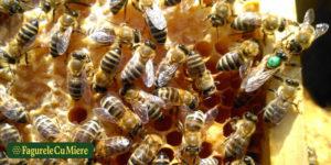 Dezvoltarea unei familii de albine